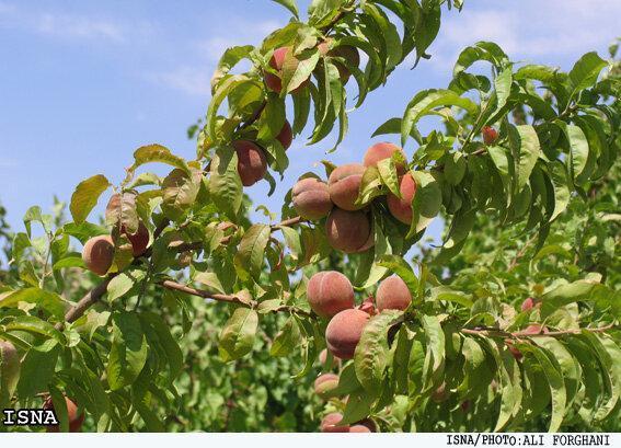 پیش بینی برداشت 19 هزار تن میوه هسته دار در کهگیلویه و بویراحمد